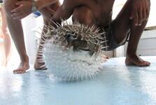 ježík hnědý