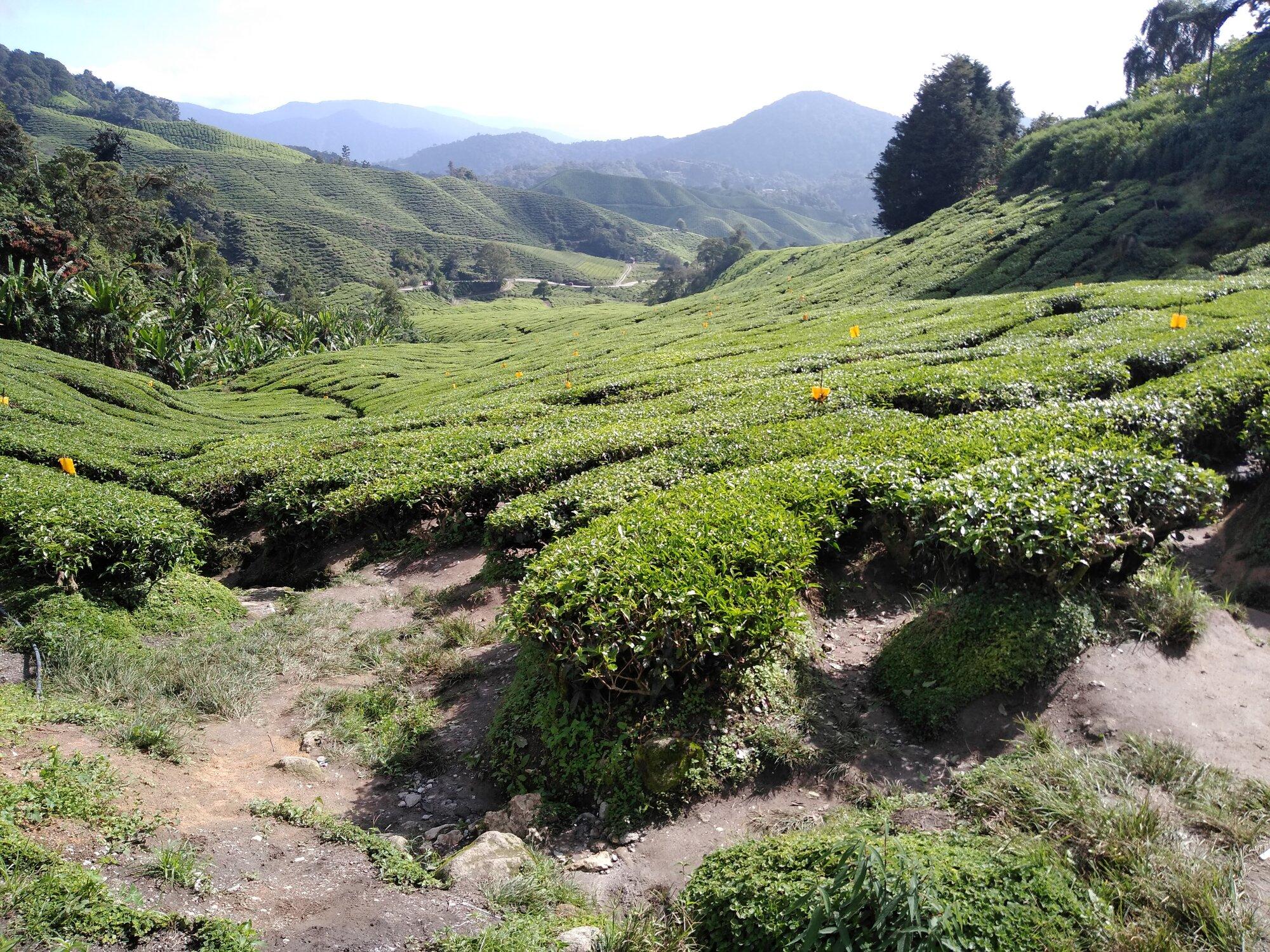 BoH čajové plantáže