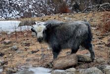 horské pastviny, na ktorých nájdeme stáda jakov