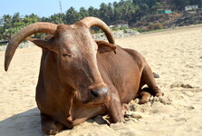 стада коров на пляже Кудле