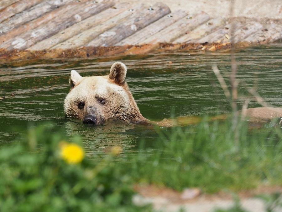 медведи в Арбесбахе, (c) Baerenwald Arbesbach Mairhofer