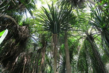 stromy v pralese Jozani