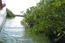плавание между мангровыми зарослями