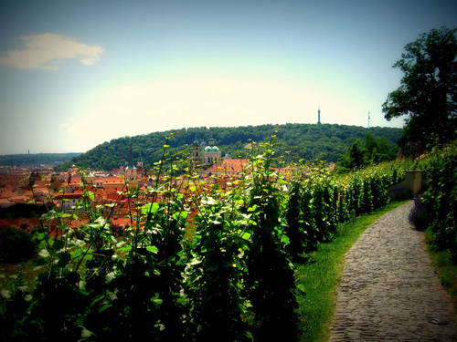 Svatováclavská vinice