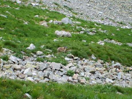 Západní Tatry - Roháče (fauna)