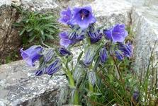 Západní Tatry - Roháče (flóra)