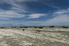 procházející se krávy na pláži po odlivu