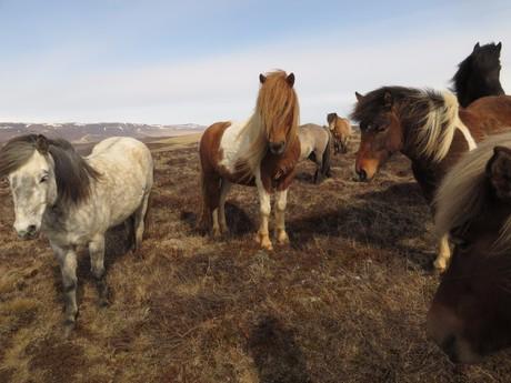koně na poloostrově Vatsnes