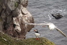 racek s papuchalkem na ptačích útesech