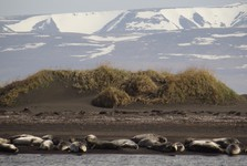 tuleni na pobřeží naproti Osaru