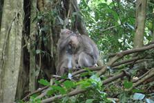 opice jsou nedílnou součástí Bali