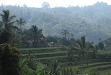 rice fields are typical on Bali