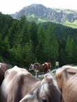 Austrian cows around