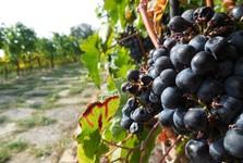 St Klara's vineyard