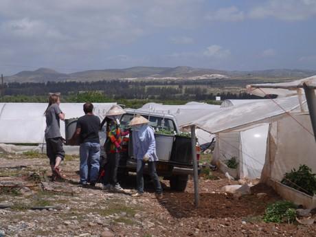 plantáž paprik s pohledem na pohoří Troodos