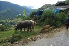 buffalos on the pasture