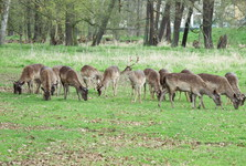 fallow deer in the English park