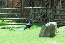 peacocks move freely in the park