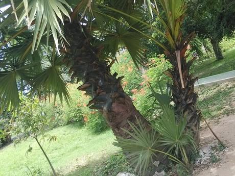 одна из многих пальм