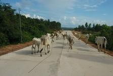 stádo bílých krav