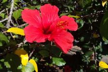 hibiscus flowers, Parque de Málaga