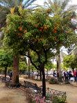 there are plentiful orange trees in the garden