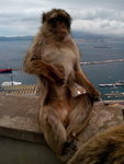 Barbary macaque, nature reserve in the Rock of Gibraltar