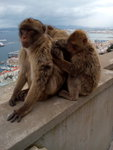 Barabary macaque in the nature reserve, Rock of Gibraltar