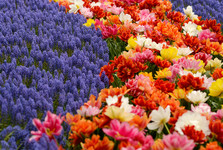 Keukenhof the flower garden
