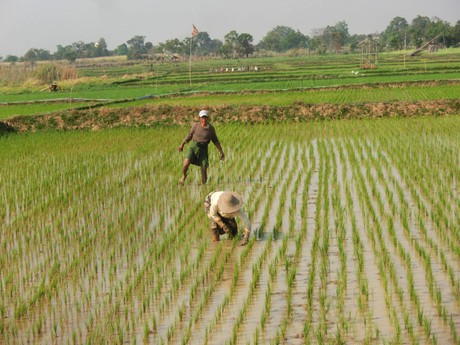 práce na rýžových polích