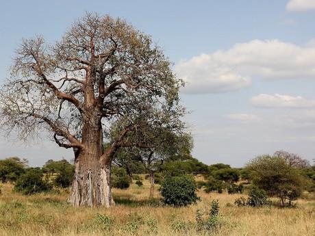 starověký baobab