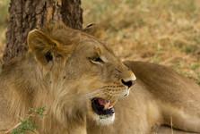 lion jr