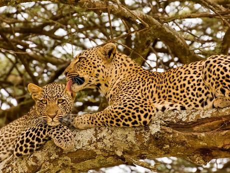 leopardia rodina