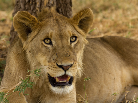 mladý lev