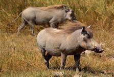 prasata bradavičnatá