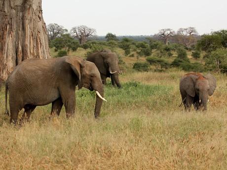 sloní klan