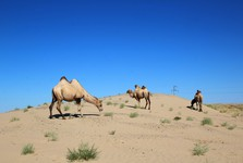 herds of camels around Lake Aral
