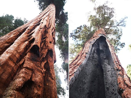 seqoia trees need fire to reproduce