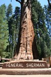 world's largest tree- General Sherman