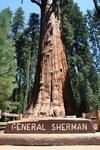 самым массивным деревом в мире является General Sherman