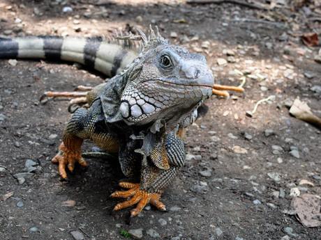 iguana, Jardín Botánico