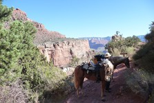 mules are trained to move in dfficult conditions