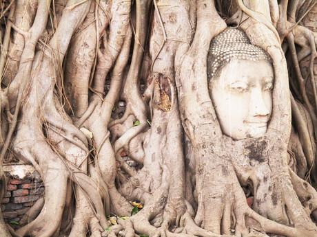 Ayutthaya – hlava Buddhy v kořenech stromu