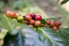 кофейные ягоды