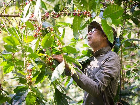 na této farmě se nepoužívají žádné chemikálie a třešně se sbírají ručně