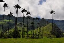 voskové palmy