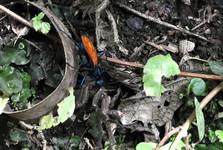 дорожная оса с пауком