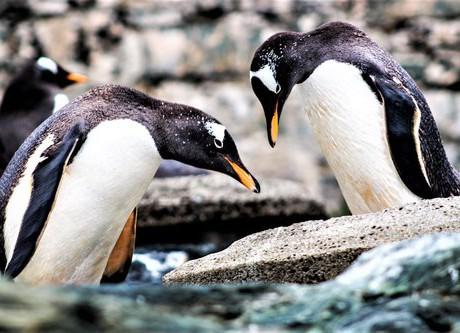 3. cena redakce_Renata Blahušová, Pinguines simply love