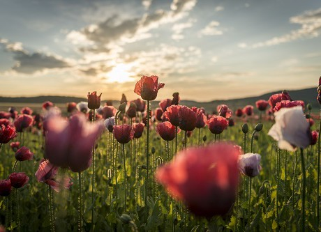 the land of wild poppy, (c) Waldviertel Tourismus, www.ishootpeople.at