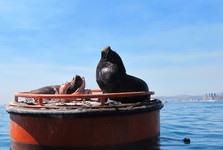 морские львы спокойно отдыхают на буйках